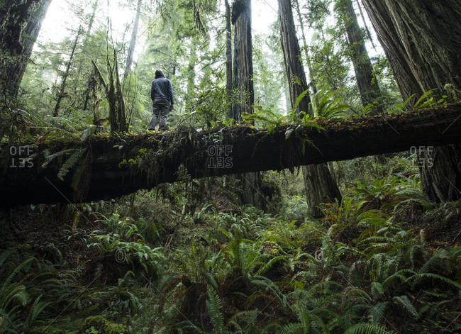 Low angle view of man standing on fallen tree trunk at Jedediah Smith Redwoods State Park