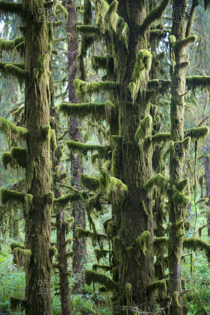 Moss growing on trees in forest at Olympic National Park
