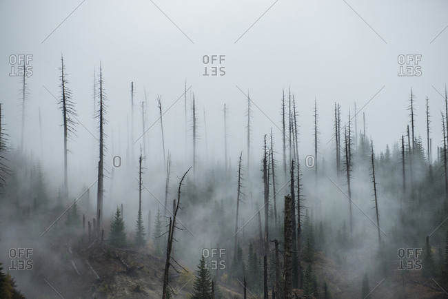 Bare trees growing in forest during foggy weather