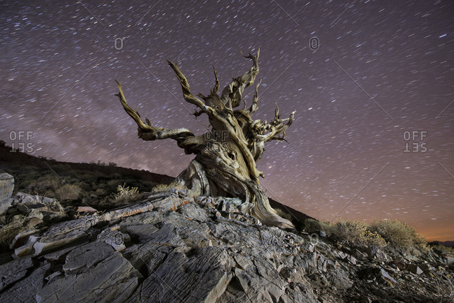 Low angle view of Bristlecone Pine against star trails at night