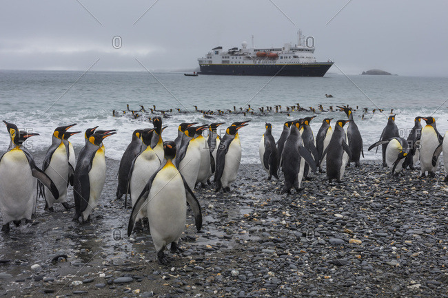 South Georgia Island - November 15, 2016: King penguins gather on the shore of the island's North Coast where a cruise ship is moored