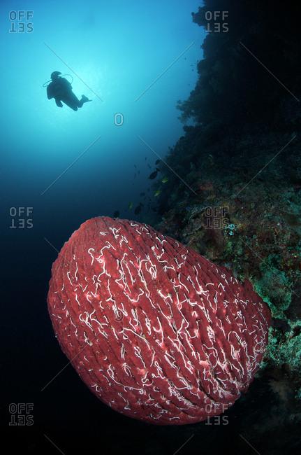 Tubbataha Reefs Natural Park, Cagayancillo, Philippines - March 18, 2010: A scuba diver and Giant barrel sponge, Xestospongia muta, on a steep wall