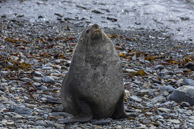 An adult male fur seal rests on pebbly ground