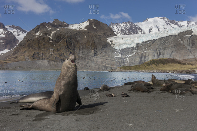 An adult male elephant seal rears its head and bellows on shore with mountains in the background