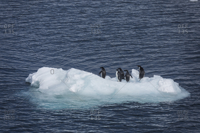 Adelie penguins rest on a small ice floe