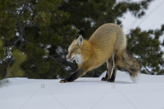 A red fox stretches after a winter nap