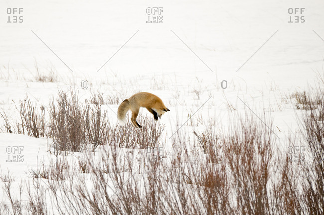 A red fox, Vulpes vulpes, pounces on  the snow