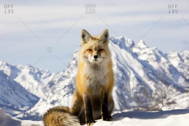 A red fox, Vulpes vulpes, basks in winter sun