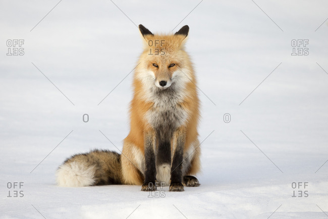 Portrait of a red fox, Vulpes vulpes, in snow