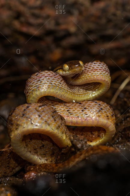 A Cat snake, Boiga species, curls against itself