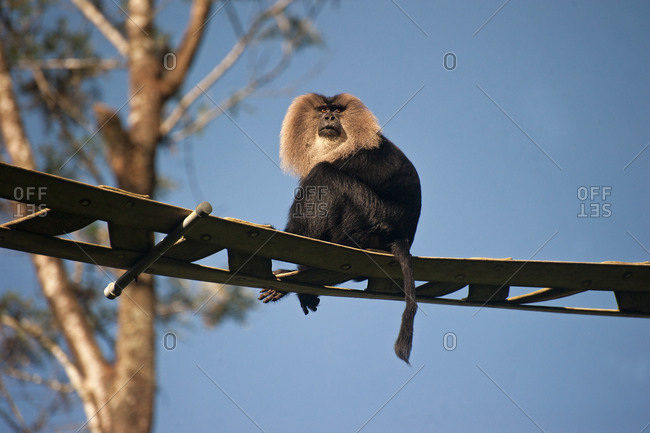 A Lion-tailed macaque, Macaca silenus, sits on an over bridge
