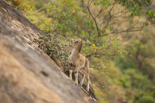 A Nilgiri tahr, Nilgiritragus hylocrius, calf climbing a cliff