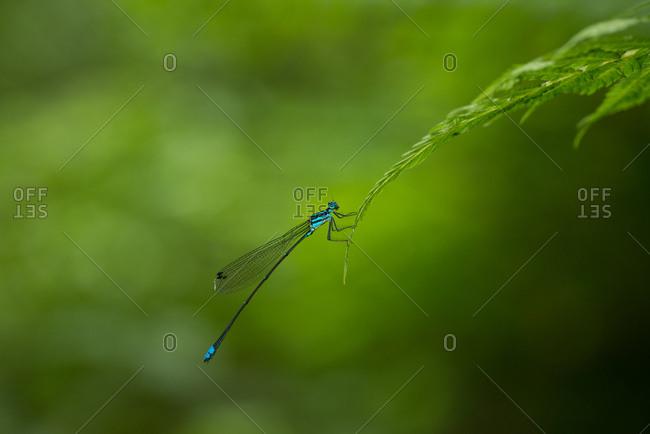 A Damselfly flying hangs on a leaf