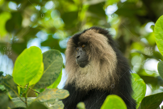 A Lion tailed macaque, macaca silenus, sits on a tree top