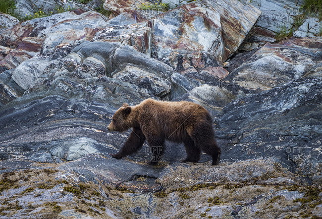 A brown bear foraging in the Juneau icefield