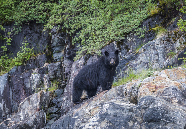 A black bear foraging in the Juneau icefield