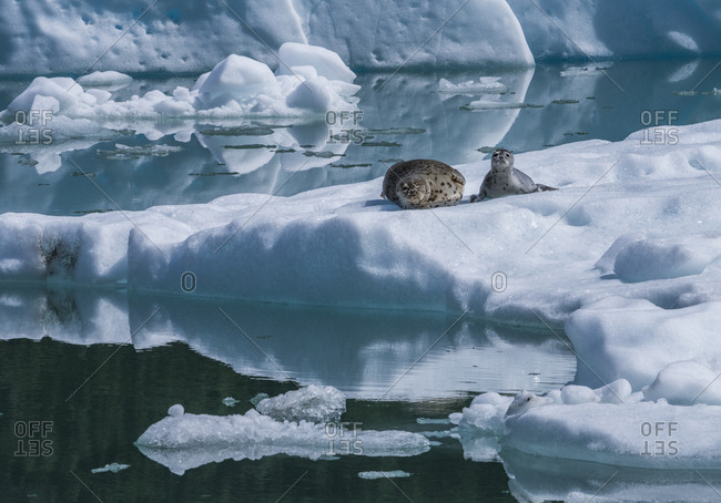 Harbor seals resting on ice