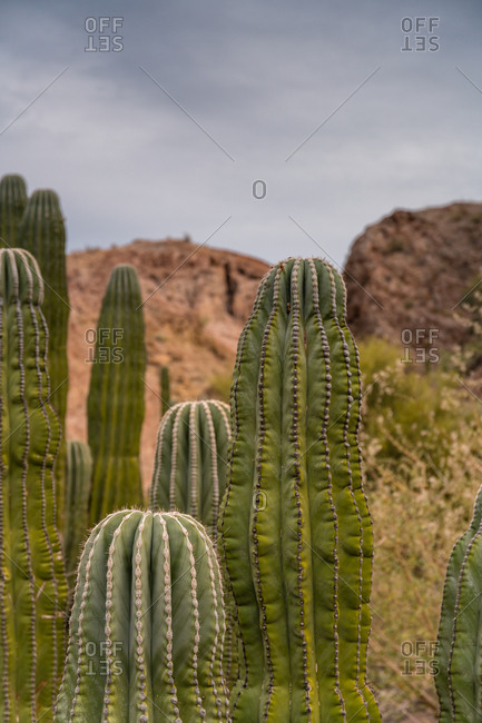 Elephant cactus, Pachycereus pringlei, grow in a cluster in the desert