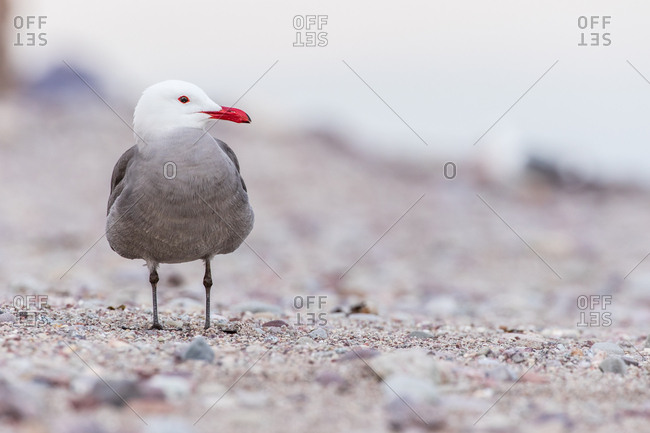 A Heerman's gull, Larus heermanni, stands on a rocky beach