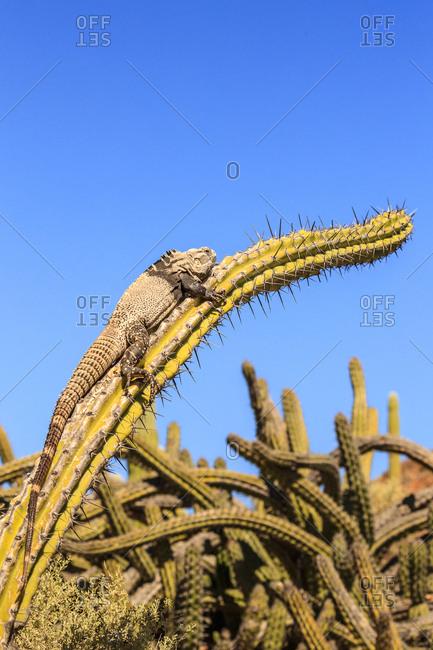 San Esteban spiny-tailed iguana, Ctenosaura conspicuosa, warming on a galloping cactus