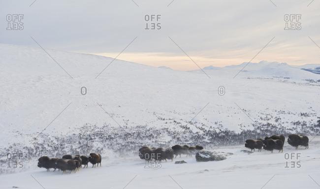 Muskox, Ovibus moschatus, in winter landscape