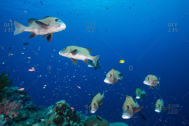 Harlequin sweetlips, Plectorhinchus chaetodonoides, on a healthy coral reef surrounded by small reef fish