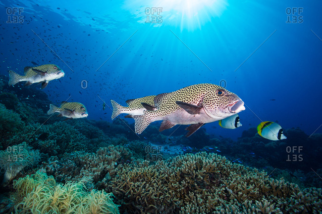 Harlequin sweetlips, Plectorhinchus chaetodonoides, hover over a staghorn coral reef