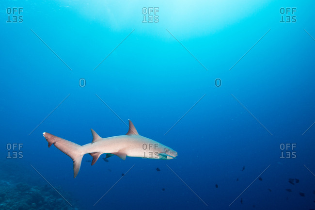 A white tip reef shark, Triaenodon obesus, swims into deep blue water
