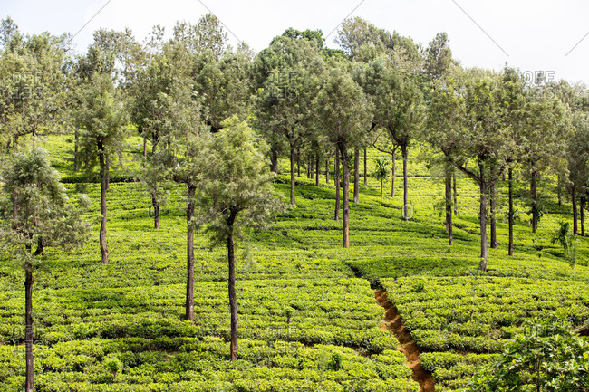 A tea plantation in the mountains of central Sri Lanka