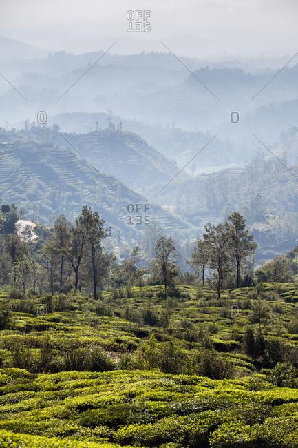 Tea plantations in the highlands of central Sri Lanka
