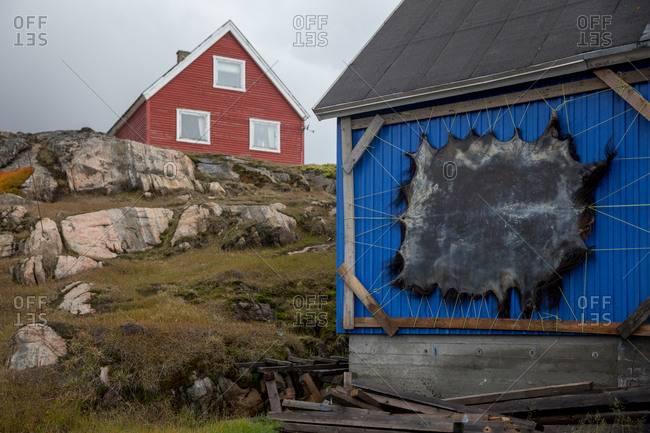 A muscox skin is stretched on the exterior of a home in Sisimiut, Greenland