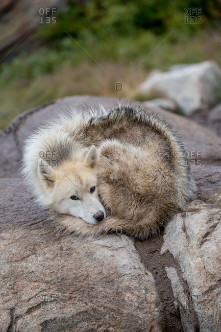 Greenlandic sled dog curled up in Ilulissat, Greenland