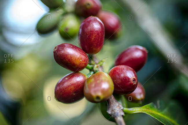 Coffee beans growing on a plantation in the Kaffa region of Ethiopia