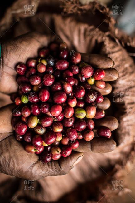 Coffee cherries in Ethiopia