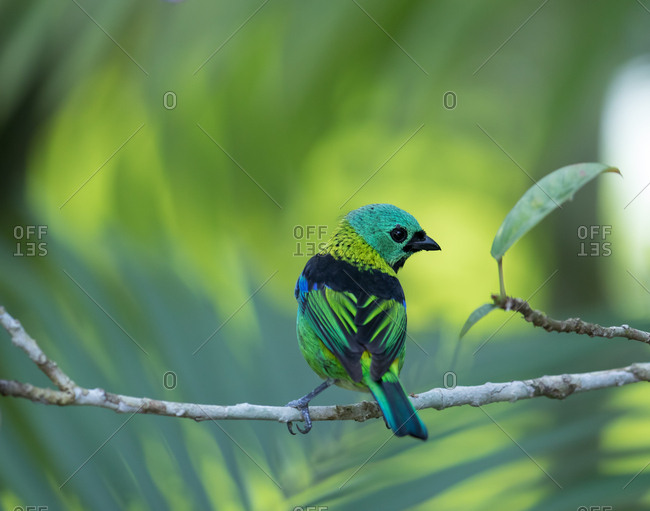 A green-headed tanager, Tangara seledon, perches on a branch of a tree in the Atlantic Rainforest in Serra do Mar National Park