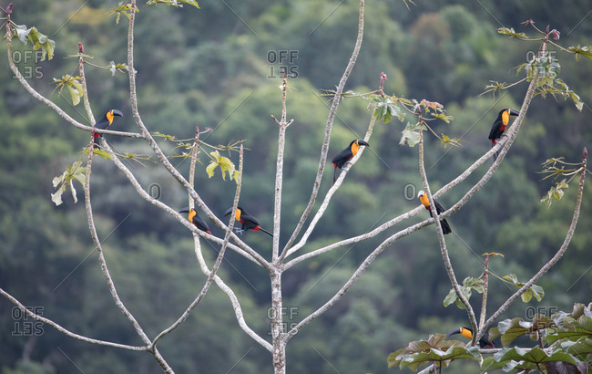 Seven channel-billed toucans, Ramphastos vitellinus, perch in a trumpet tree, Cecropia peltata in the Atlantic rainforest