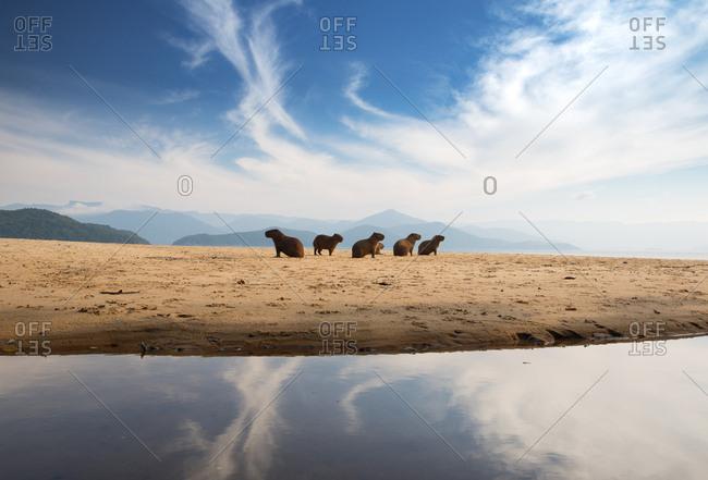 A group of capybaras, Hydrochoerus hydrochaeris, rest on the beach at sunrise