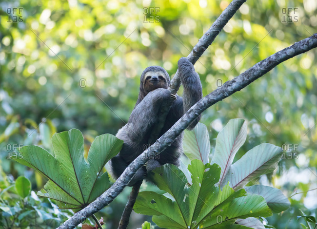 A brown-throated sloth, Bradypus variegatus, rests in a tree in the Atlantic rainforest