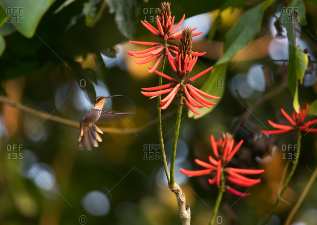 A saw-billed hermit, Ramphodon naevius, feeds from a vibrant coral tree flower