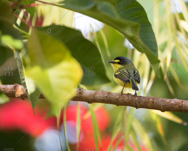 A yellow-lored tody flycatcher, Todirostrum poliocephalu, perches on a branch in the Atlantic rainforest