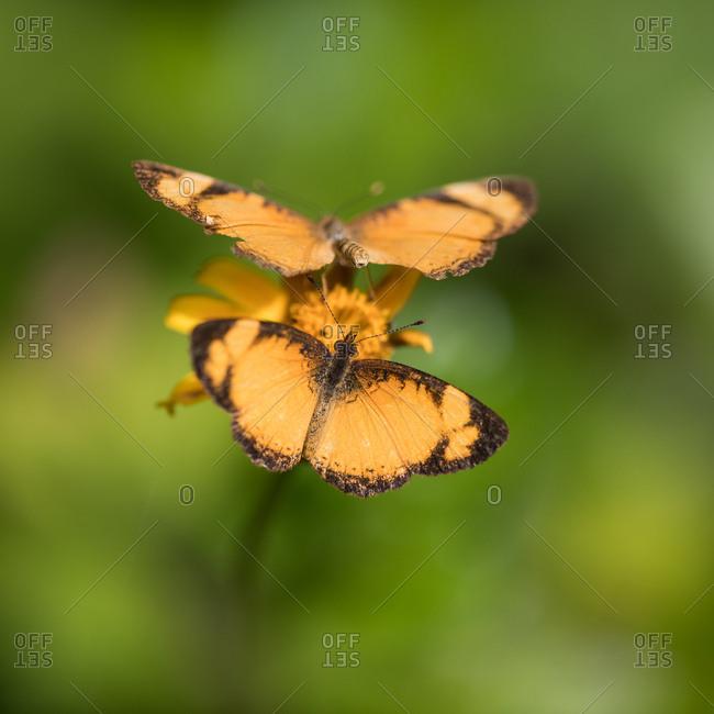 Two orange butterflies feed off a flower in Ubatuba, Brazil