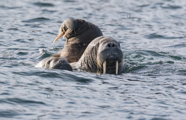Three female walruses swim on the water's surface