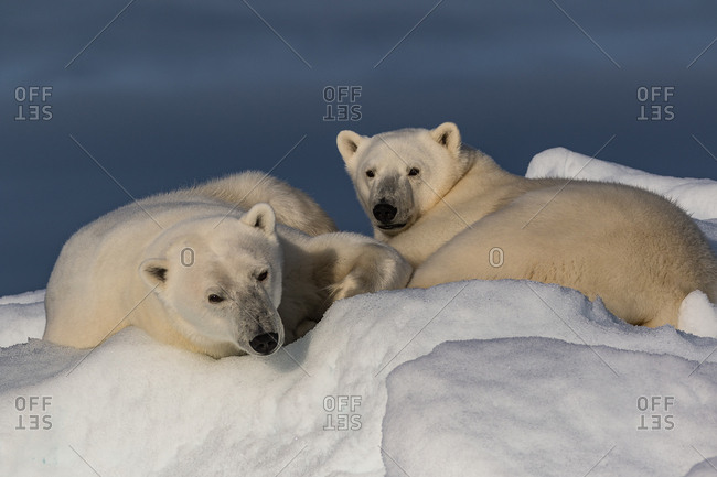 A polar bear mother and her yearling cub resting on snow