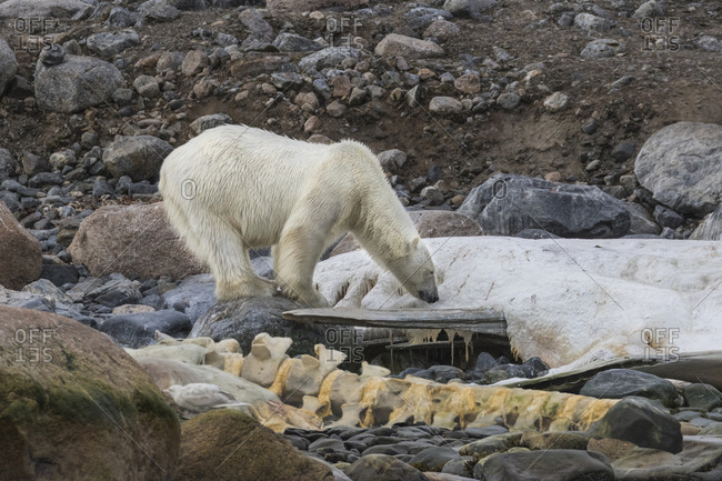 An adult polar bear sniffs the last remains of a sperm whale carcass on a beach