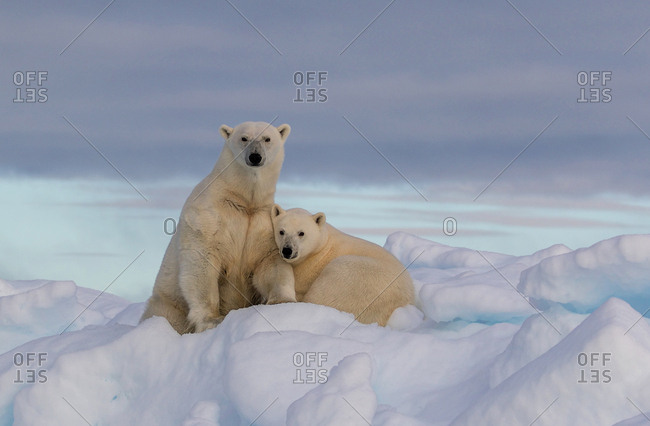 A polar bear yearling cub snuggles with mother polar bear on a snow covered iceberg