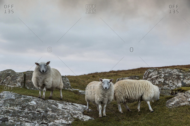 Three sheep on a farm on the western edge of the Isle of Skye, Scotland