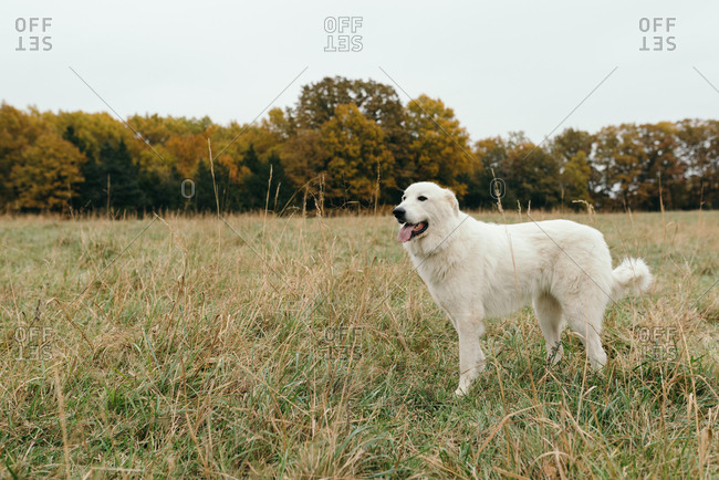 White Golden Retriever dog standing in a field