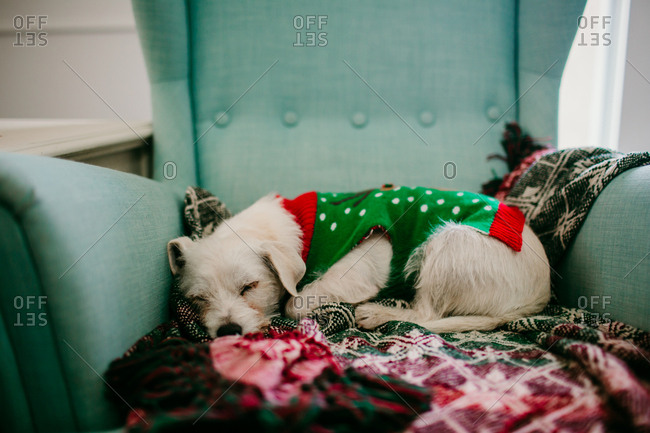 Small dog curled up asleep in an armchair