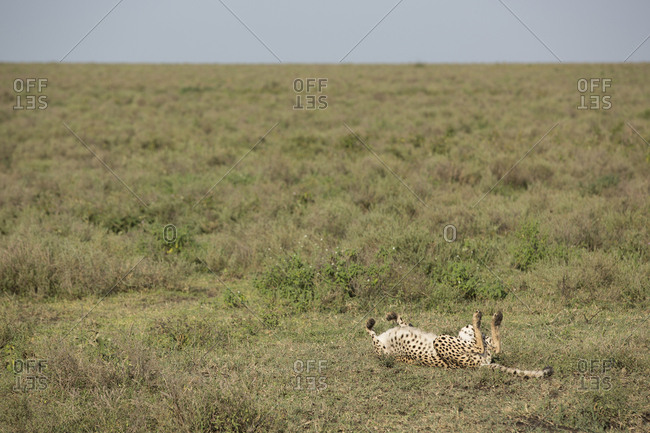 Cheetah lying on grassy field
