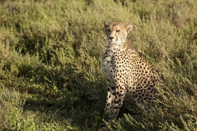 Cheetah sitting amidst plants on field
